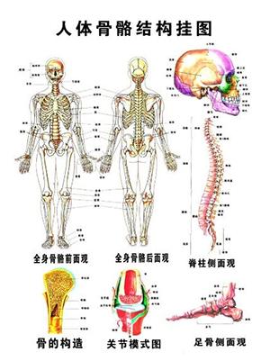骨密度测量仪关注骨骼健康:认识骨骼的剖析