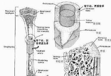 便携式骨密度检测仪厂家提示骨密度查验不会疼